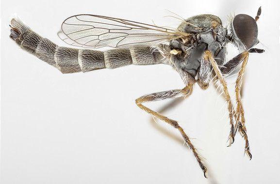 <p>La nueva especie de mosca asesina,<em>Trichoura pardeos. / T</em>orsten Dikow</p>