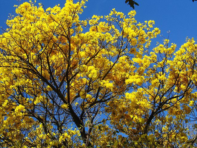 ypê ipê amarelo - golden trumpette tree - Brazilian walnut  (Tabebuia vellosoi) | por mauroguanandi