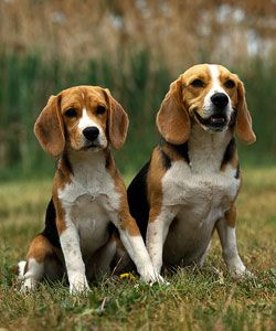 Learn more about Beagles