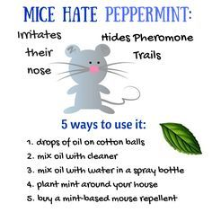 Does Peppermint Oil Repel Mice Yes 5 Ways To Get Rid Of