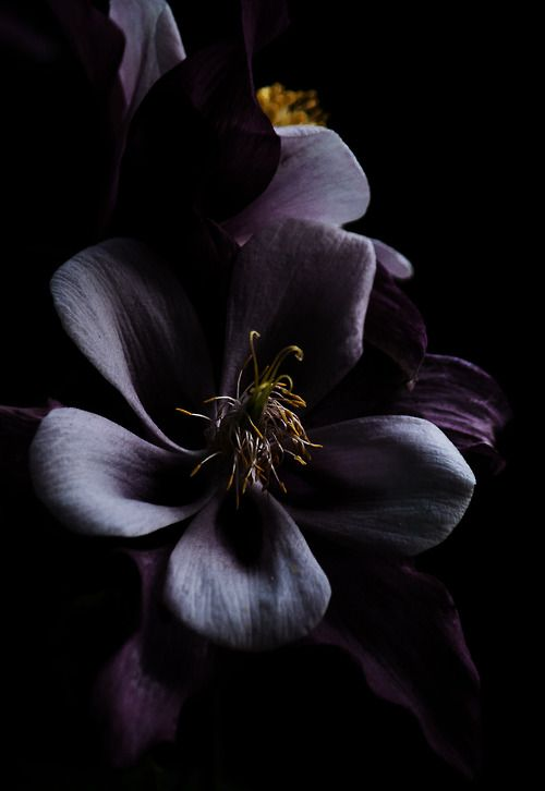 183 best SUR FOND NOIR images on Pinterest   Color photography     Black Dark  Red Black  Dark Flowers  Black Orchid  Black Colors  Colours   Black Beauty  Amazing Greens  Flower Power