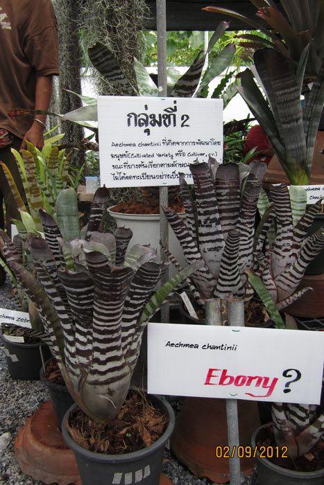 มนต์รักอสูร / Ae.chantinii 'Black' / Ae.chantinii cv. 'Ebony' มันอะไรกันนี่…?