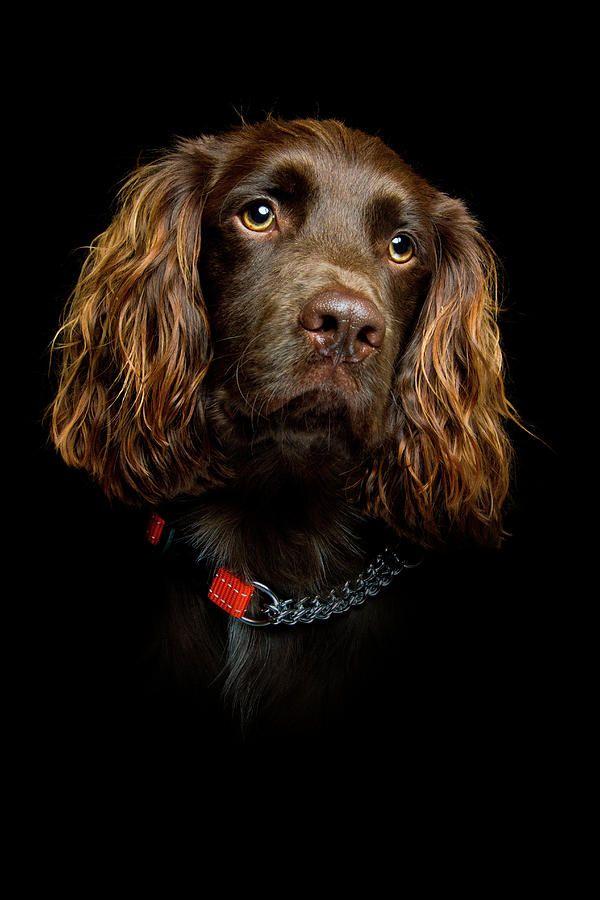 Impresión de Cachorro de Cocker