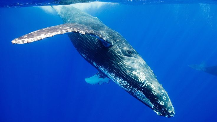 6907599-blue-whale-pictures