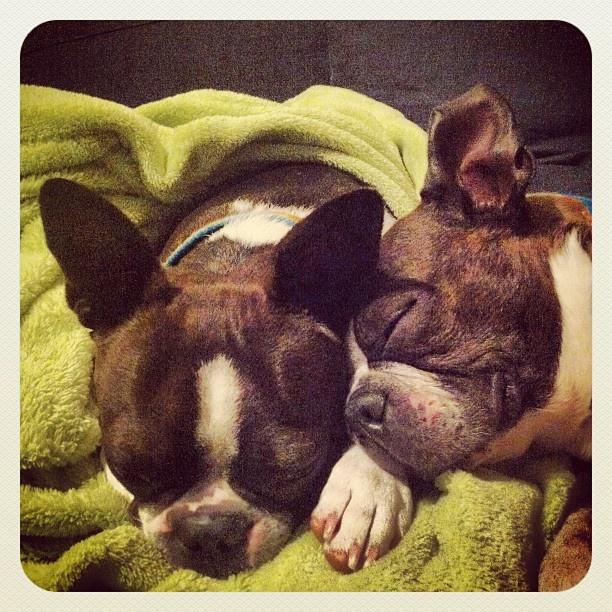 Cuddles.  #bostonterrier  #boston #terrier #pictures