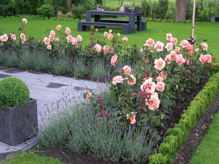 Tuinaanleg strakke rozen border met buxus en lavendel.