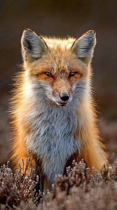 Red Fox by Hisham Atallah