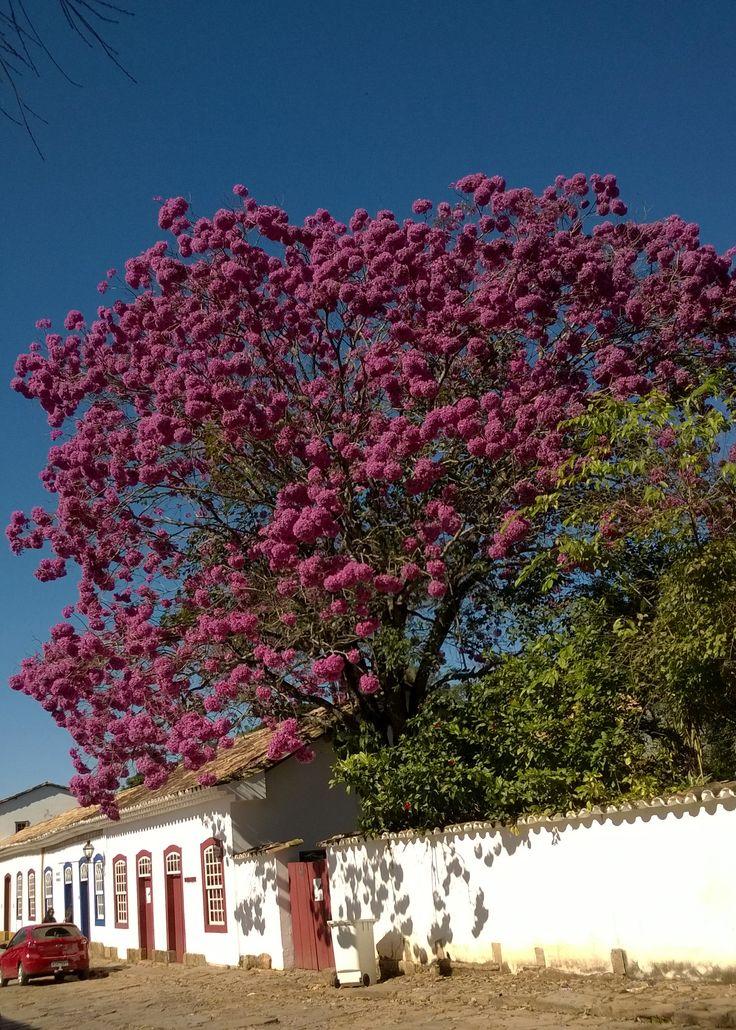 Os Ipês rosa de Tiradentes, Minas Gerais.