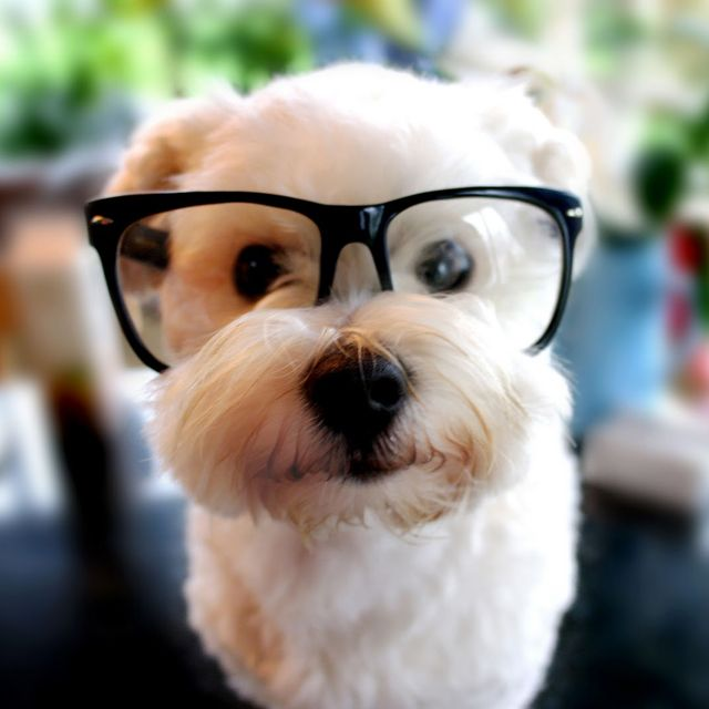 Bichon Frise, made so much cuter with the glasses :) :) :)