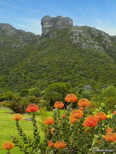 Pincushion Protea (Leucospermum) flowers at the Kirstenbosch National Botanical Garden in Cape Town, South Africa