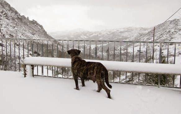 Melgaço, entre o Minho e a Serra: O cão de Castro Laboreiro em artigo de opinião do ...