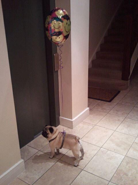 Pug + Balloon = Awesome birthday present.  AWWWWW!!!!!