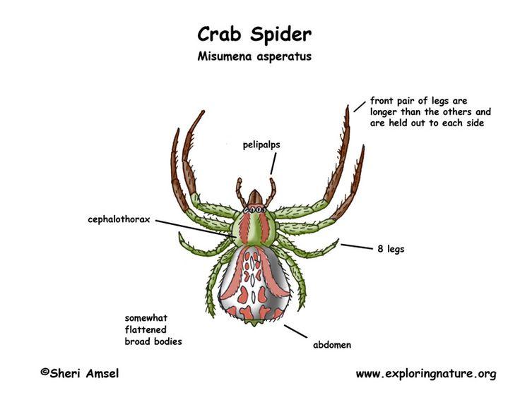 17 Best Images About Phylum Arthropoda On Pinterest