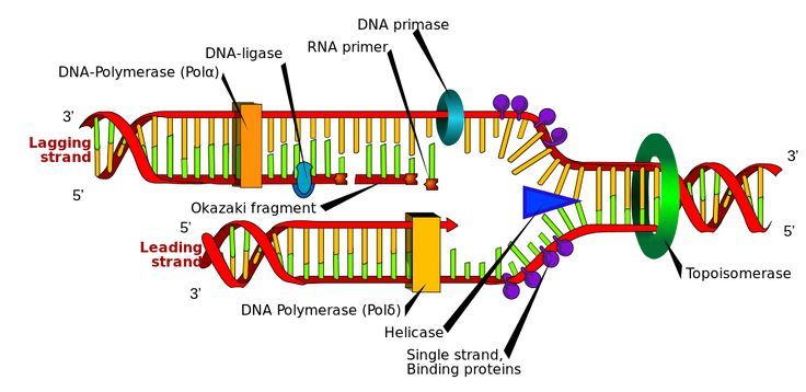 DNA replication. The double helix is unwound by a helicase and topoisomerase. Next, one DNA polymerase produces the leading strand copy. Another DNA polymerase binds to the lagging strand. This enzyme makes discontinuous segments (called Okazaki fragments) before DNA ligase joins them together.