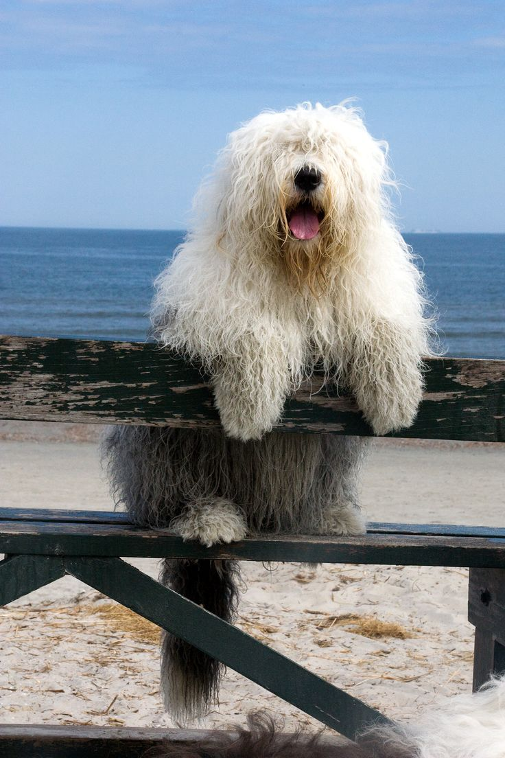I grew up with Old English Sheep Dogs.. Loved them all...