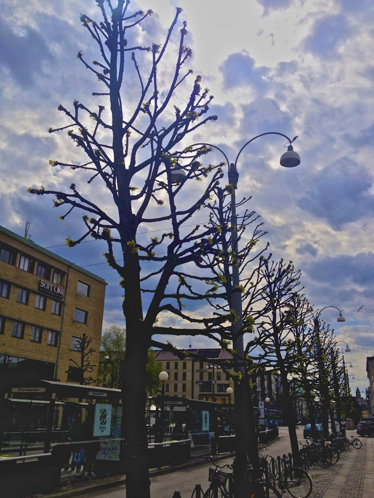 Many of these odd-looking trees are found throughout Jonkoping and Goteborg