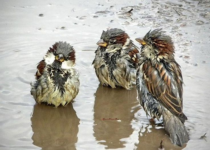 Sparrows in the rain, photographer not cited, from www.amolife.com - Pixdaus