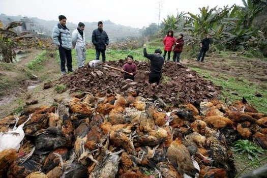Farmers prepare to bury dead chickens at the No. 7 Community at Lanfeng Village of Yuanyang Township on February 5, 2009 in Chongqing Municipality, China.