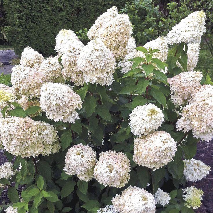 'Phantom' Hydrangea (Hydrangea Paniculata Phantom) At