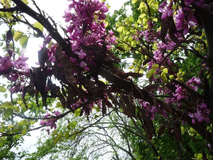 A júdásfa szeretni való tavaszi szépség. Már messziről megcsodálhatod lila színű, még a fa törzsét is beborító virágözönét. Nemcsak a parkokban, hanem kiskertben is helye van. A júdásfát április közepe táján magról szaporítsd. http://kertlap.hu/szaporitsd-mutatos-judasfat/