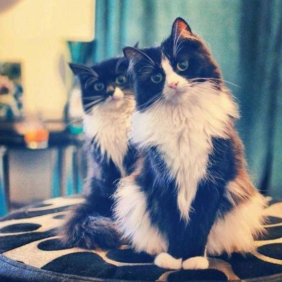 Twee langharige katten