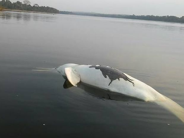 Segundos os índios, os animais foram encontrados mortos após o vazamento de óleo (Foto: Tawari Kaibi/Arquivo Pessoal)