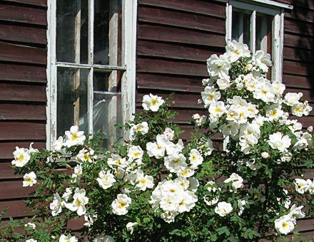 These white roses in Finland are called 'Midsummer Roses' as they are in bloom around midsummer.