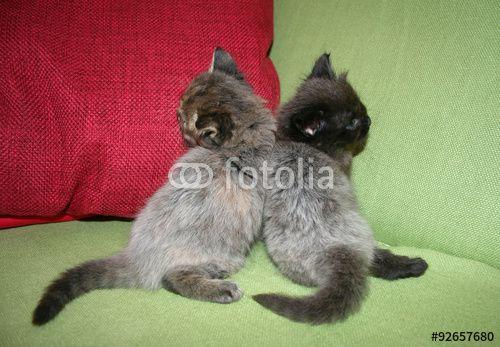 Cuccioli di gatto appoggiati l'uno alltro  #occhi #agilità #animali #artigli #baffi #felini #fusa #gatto #gattoeuropeo #gattotigrato #mammiferi #mondoanimale #natura #quattrozampe #scattante #velocità #zampe #cucciolidigatto #cuccioli