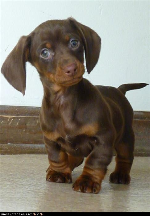 dachshund - If I ever get a small dog I'm getting one if these ! His short legs and fat paws are so cute!