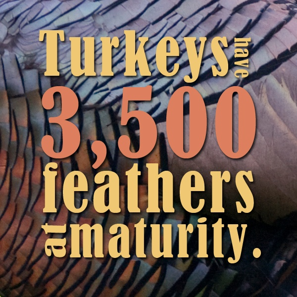 Thanksgiving fun fact: Turkeys have 3,500 feathers at maturity.