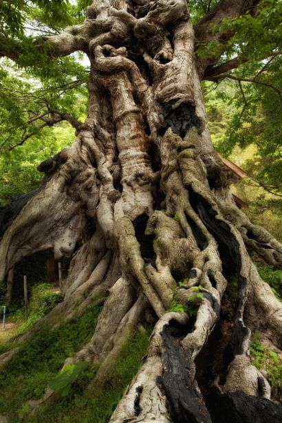 神々の巨樹. Kyoju of the Gods. Ancient tree in Japan.  Photography by Yoshida Shigeru on Ganref