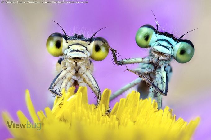Photo tip by Alberto Ghizzi Panizza Love to take macro photos!  Who knew what damselflies looked like close up??