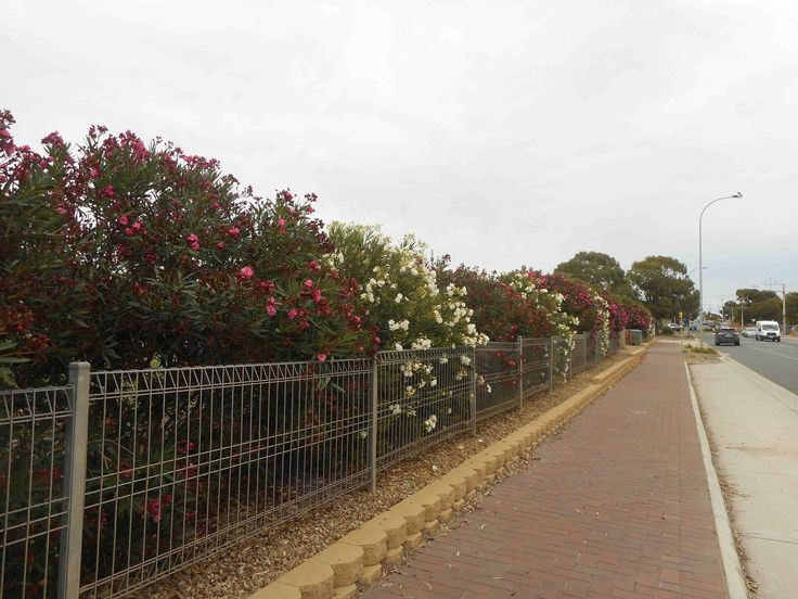 Alternating pink and white oleanders used as a border on the Uniting Church Cemetery Old Noarlunga, Seaford Road, Seaford. The fence leaves a bit to be desired but the living border is lovely for many months in summer while it's flowering.