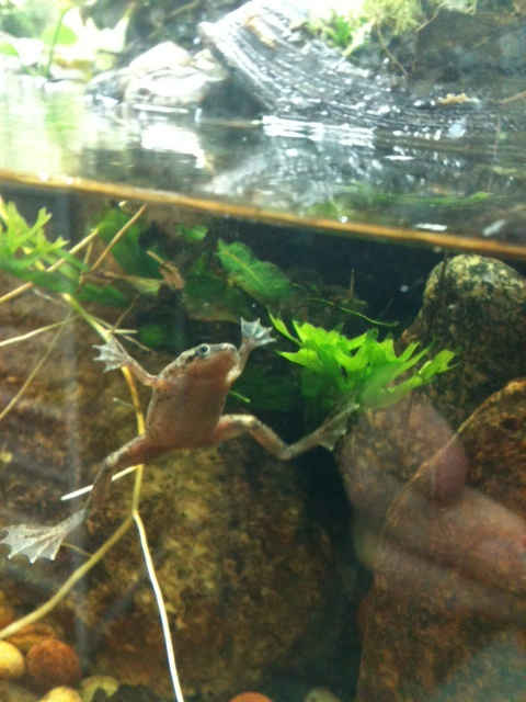 closeup of my African dwarf frog