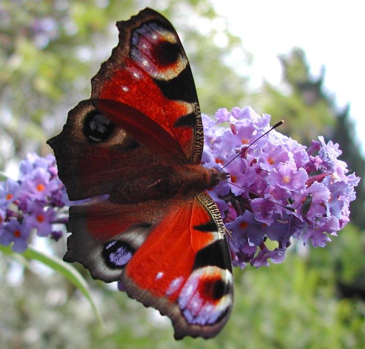 Red Admiral Butterfly | Garden | Pinterest