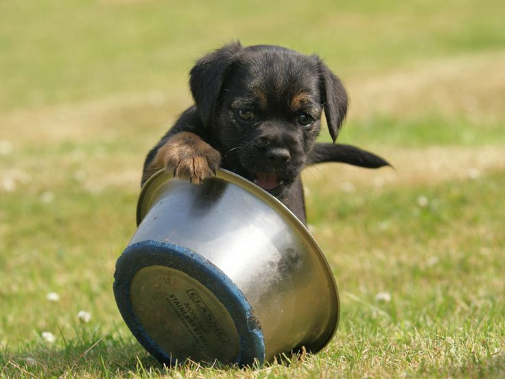 Border Terrier puppy playing with food bowl outside on the grass..