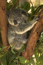 Koala ..