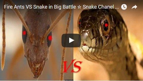 Beautifulplace4travel: Fire Ants VS Snake in Big Battle