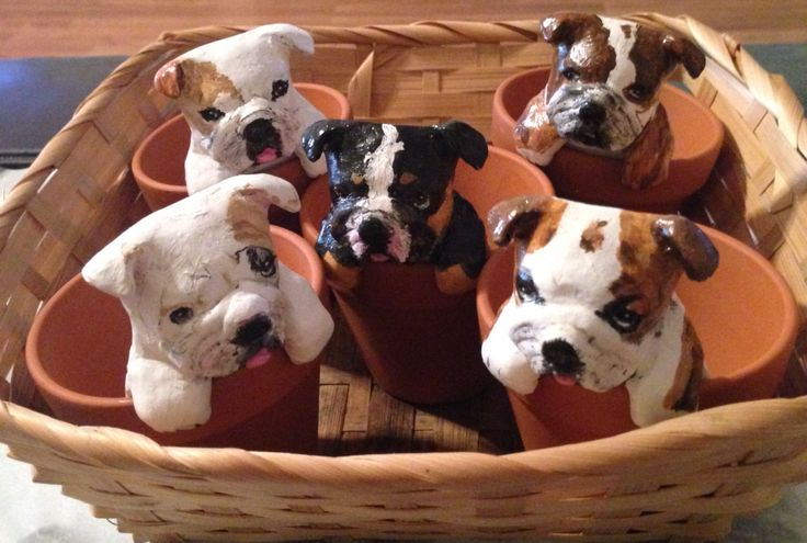 Little English Bulldogs going to their furever home today!  #PuppyinaPot #bulldog