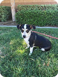 Pictures of Dixie a Jack Russell Terrier/Parson Russell Terrier Mix for adoption in Bakersfield, CA who needs a loving home.