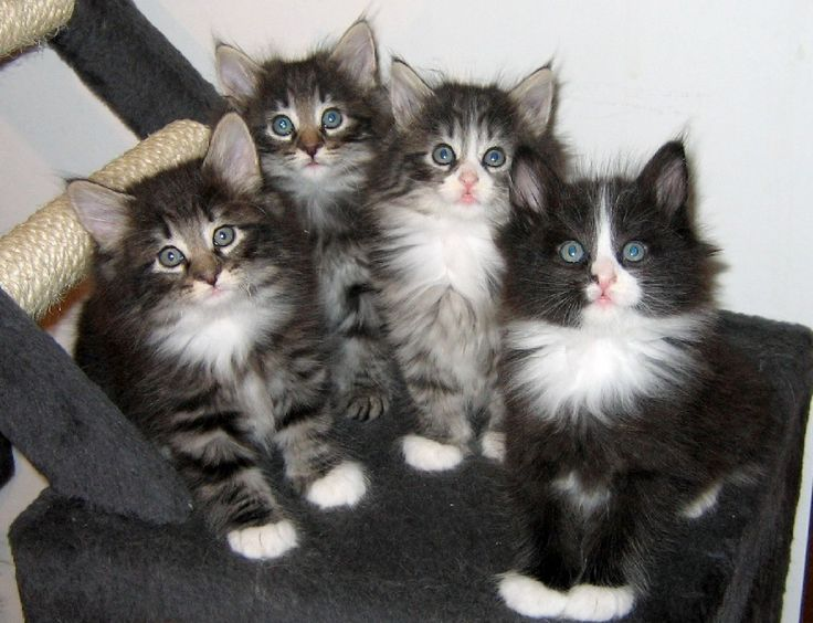 Norwegian Forest Cats...I heart them!