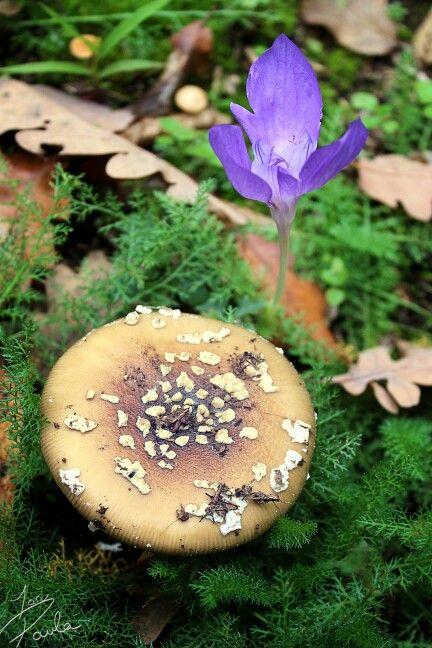A beautiful crocus and a interesting mushroom. Nature autumn shot. Teenager girl photographer @ionpaulaelena