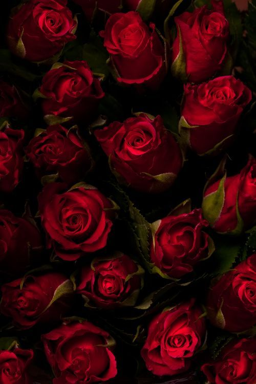 best 25 dark red roses ideas on pinterest