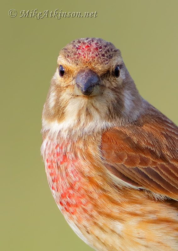 Linnet - Mike Atkinson Bird Photography