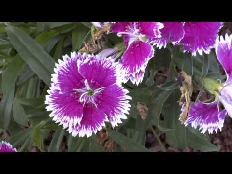 Dianthus flower - growing conditions and care - YouTube