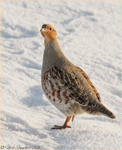 Gray Partridge, red/grey, grey chest, red head, brown belly patch