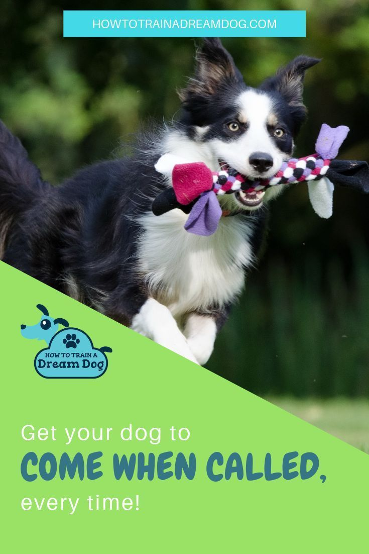 Come When Called Get Your Dog Quickly Dog Training Dogs Your Dog