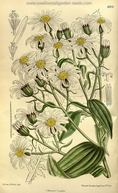 Brachyglottis hectori. Curtis's Botanical Magazine, vol. 143 [ser. 4, vol. 13] (1917) [M. Smith]