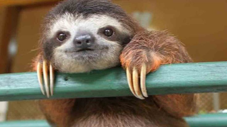 Whether your spring break is currently in process, right around the corner, or you're dreading the next three weeks until you have off, chances are that you'll be able to relate to the stages of your college spring break as told by sloths.