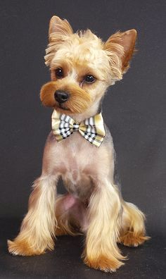 dog hair style 37 best images about yorkie hair styles on ux 1534 | f050172651a51e59174c32ad3030b15c